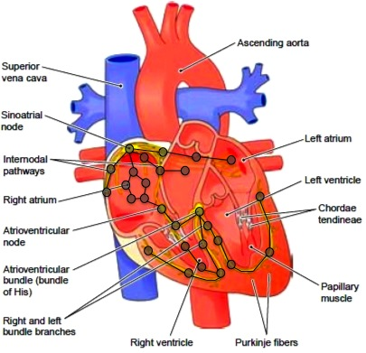 Diagrams of heart conduction system study basic guide wiring diagram veriware case studies rh veriware org cardiac conduction system and heart block simple heart diagram ccuart Choice Image